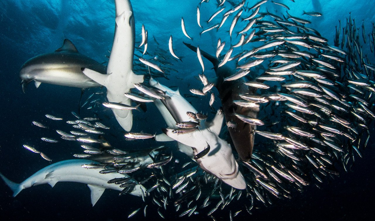 A tavola con gli squali